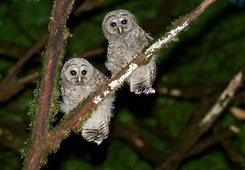 May - Juvenile Barred Owls