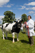 Showing British Blue cattle at the Royal Highland Show, Edinburgh