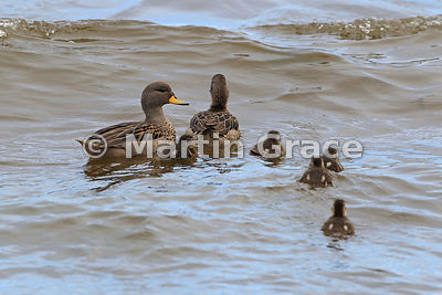 Speckled Teal (Anas flavirostris) pair with ducklings, Chiloe Island, Chile