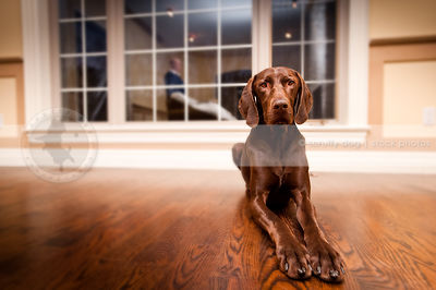 handsome brown shorthaired dog lying on hardwood indoors