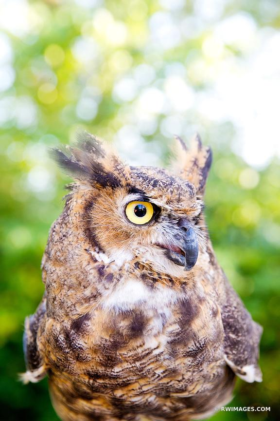GREAT HORNED OWL VERTICAL COLOR