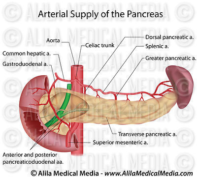 Pancreas blood supply labeled