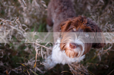 brown and white  dog looking upward from grasses