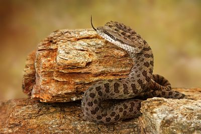 Twin-Spotted Rattlesnake With Tongue Out