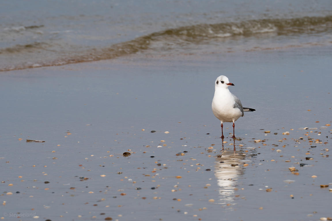 Foraging on the landwash- Blackheaded gull
