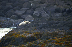 Seal_on_the_rocks