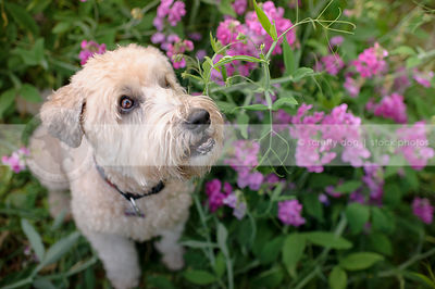blond soft coated wheaten dog looking up from garden flowers