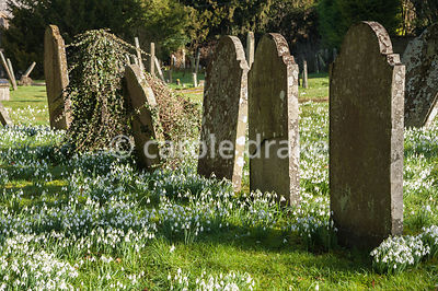 Naturalized snowdrops, Galanthus nivalis, in the churchyard of St Gregory's Church backing on to Welford Park, Newbury, Berks, UK