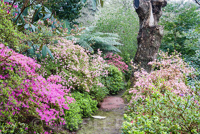 Banks of azaleas, both evergreen and deciduous, flower from all sides in the woodland garden. Greencombe Garden, Porlock, Somerset, UK