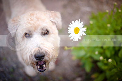 headshot of expressive terrier dog smiling up from flowers