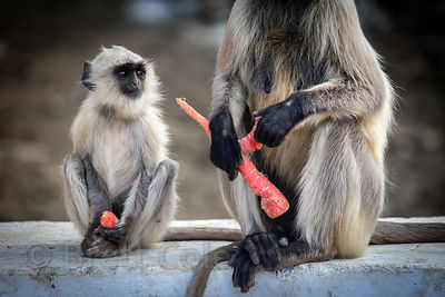 Adult and juvenile langur monkeys eating carrots, Boraj Kazipura, Rajasthan, India
