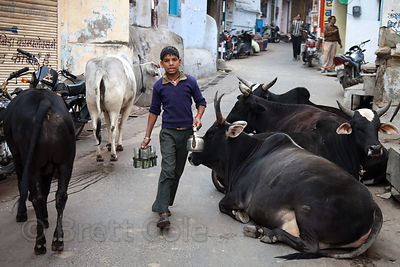 A boy walks past resting cows in the street in Udaipur, Rajasthan, India