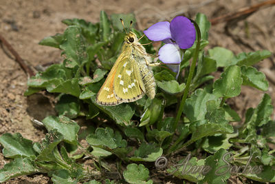 Silver-spotted Skipper (Hesperia comma) photos