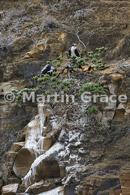Pair of Great Frigatebirds (Fregata minor ridgwayi) at their tree nest high up the cliff face at Punta Pitt, San Cristobal, Galapagos Islands