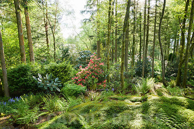 Woodland garden full of rhododendrons, pieris, camellias and azaleas that enjoy the area's acid soil. Windy Hall, Windermere, Cumbria, UK