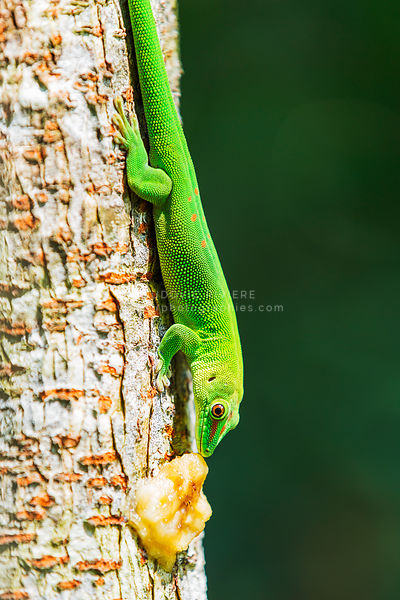 green gecko on a tree, Madagascar
