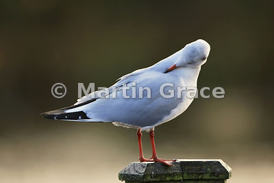 Preening Black-Headed Gull (Larus ridibundus) in adult non-breeding (winter) plumage, Lancashire, England