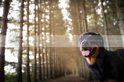 portrait of sweet happy rottweiler dog staring from pine forest
