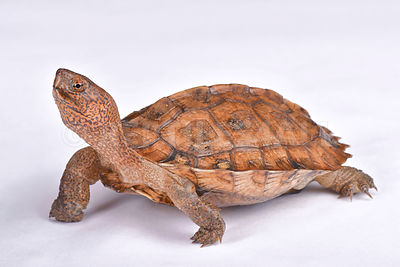 Giant Asian pond turtle (Heosemys grandis)  photos