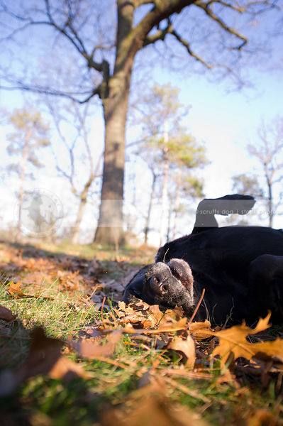 old black lab dog rolling in autumn leaves and sunshine in park
