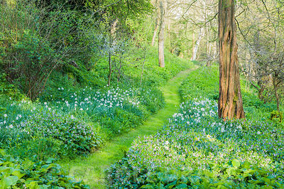 Path running through the valley garden surrounded by comfrey and narcissi. Brilley Court Farm, Whitney-on-Wye, Herefordshire, UK