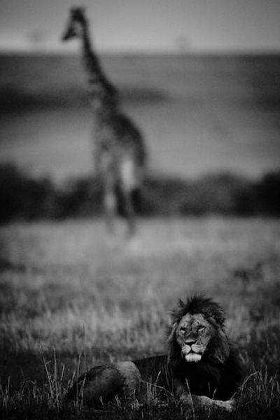 Lion in front of a giraffe © Laurent Baheux