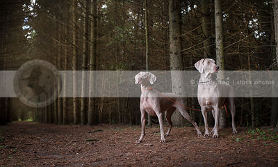 two grey dogs posing together in tunnel of trees