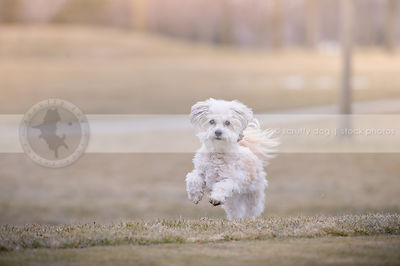 little white groomed dog running with minimal background