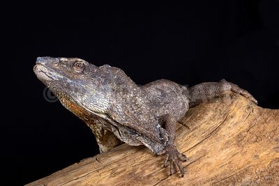 Frilled lizard (Chlamydosaurus kingii) photos