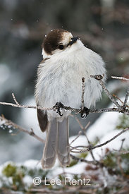 Gray Jay (Perisoreus canadensis) perched on a branch during a snowstorm on Hurricane Ridge, Olympic National Park, Olympic Peninsula, Washington, USA, March, 2009_WA_8097
