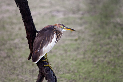 Indian pond heron (Ardeola grayii), Keoladeo National Park, Bharatpur, India