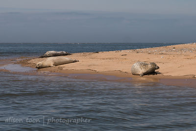 Common seal at Blakeney Point