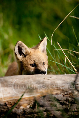 Red Fox_MG_5391