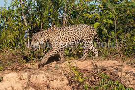 jaguar_riverbank_stroll-14