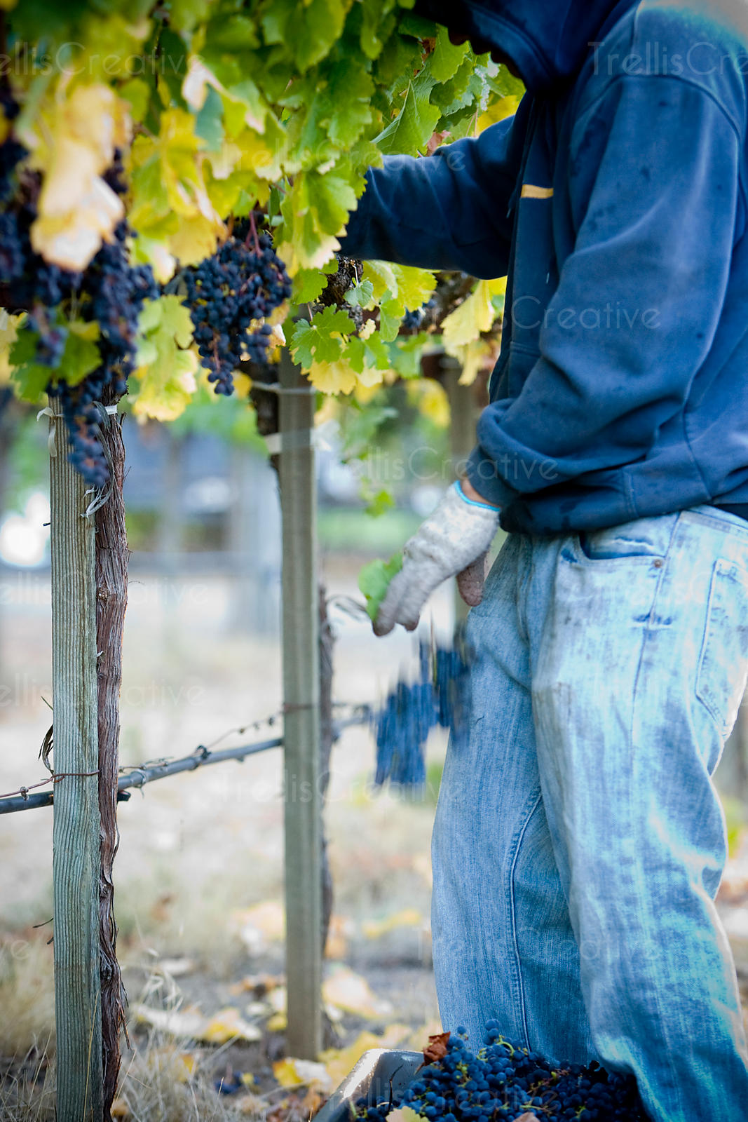 Harvesting wine grapes