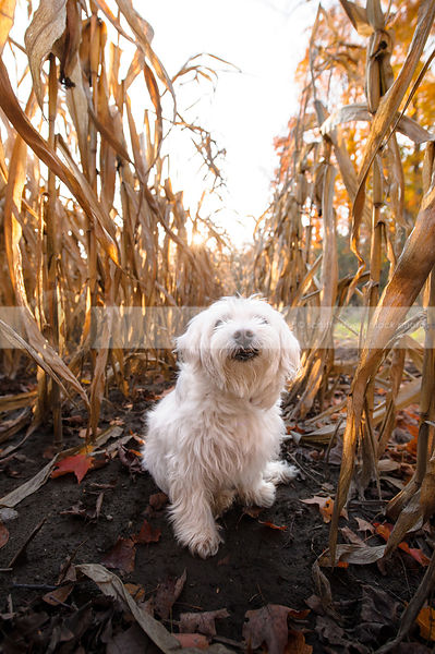 sweet little white dog sitting in corn rows with sunflare