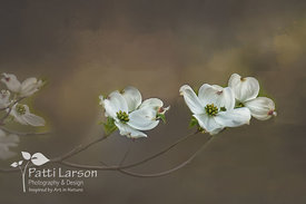 Dogwood Blossoms - Beauty and Sorrow