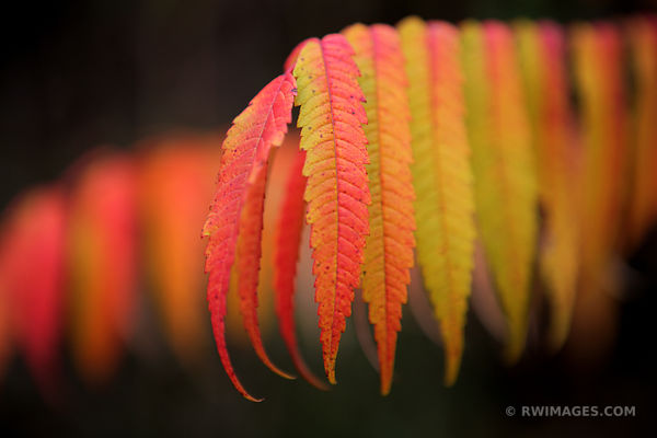 SUMAC DOOR COUNTY WISCONSIN FALL COLORS