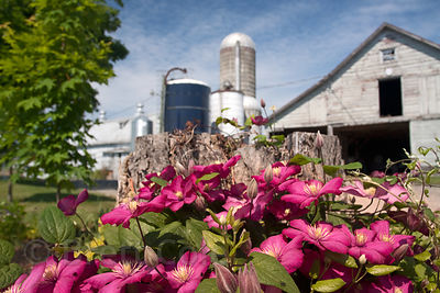Flowers and barn on a farm in the Catskills, New York