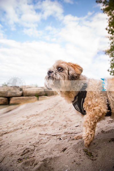 small groomed cream dog looking skyward standing on beach