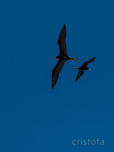 Frigate birds, or Man o' war at Savanna le Mar