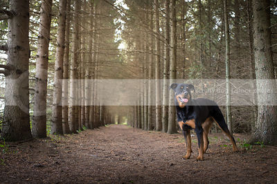 black and tan rottweiler dog standing in forest of pines