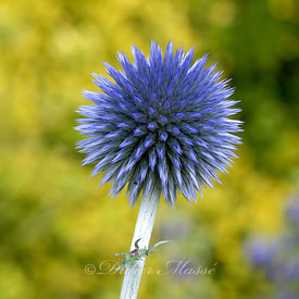 Portrait d'echinops Ennery Val d'Oise 06/08