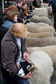 Swaledale ram sale at St Johns Chapel - Weardale.