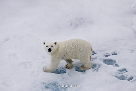 A polar bear cub walking over an ice floe near Svalbard, Norway stops briefly in curiosity.