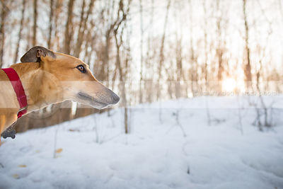 pretty fawn dog looking skyward in winter trees with sunflare
