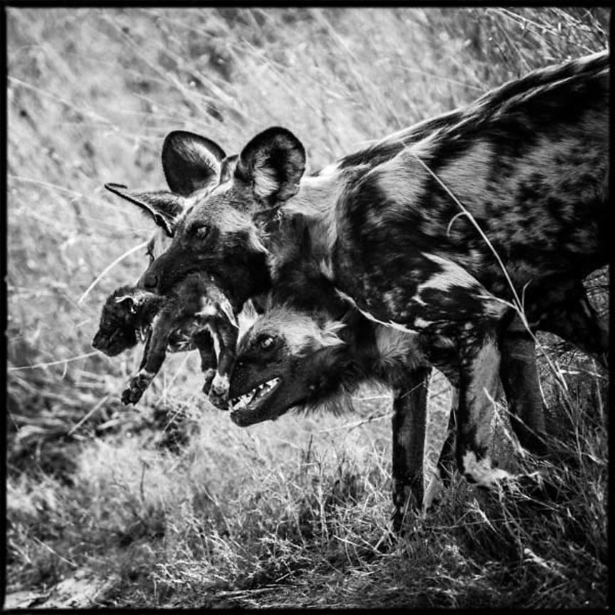 6220-Wild_dogs_Laurent_Baheux