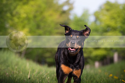black and tan dog with ears up running in park