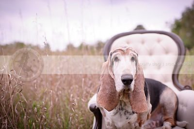 portrait of old basset hound dog sitting on chair in dried grasses