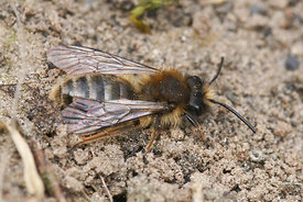 Andrena clarkella at Miseriebocht, Sint joris ten distel, 2013/04/07